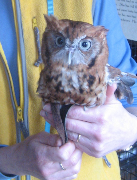scarlet-screechowl.jpg
